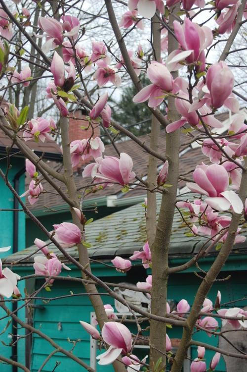 Magnolia_tangerine_118_2